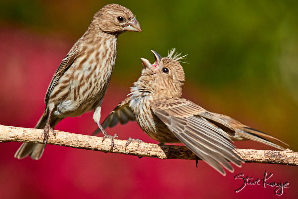 House Finch, © Photo by Steve Kaye, in blog post: How Birds Celebrate Spring