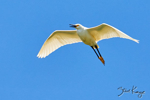 Snowy Egret, © Photo by Steve Kaye, in blog post: Your Signature