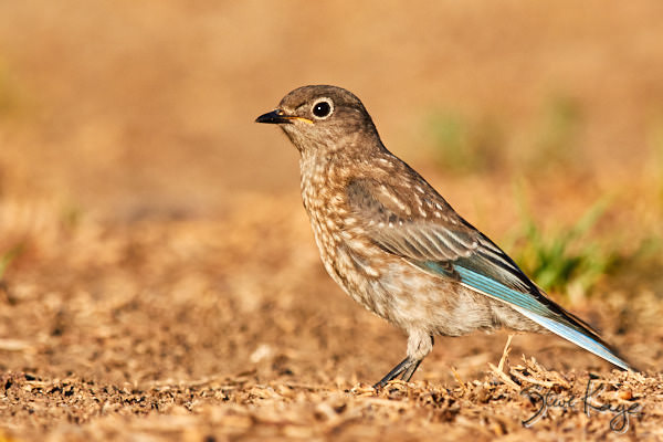 Western Bluebird, © Photo by Steve Kaye, in blog post: How Birds Celebrate Spring