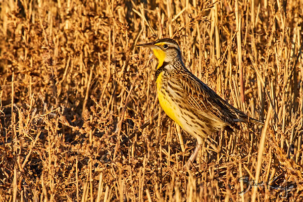 Western Meadowlark, © Photo by Steve Kaye, in article: Endangered Birds