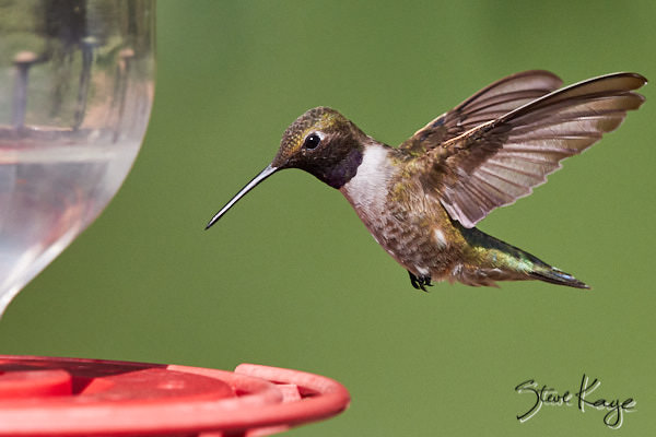 Black-chinned Hummingbird, © Photo by Steve Kaye