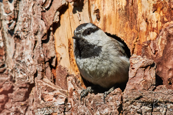 Mountain Chickadee, © Photo by Steve Kaye, in article on Endangered Species