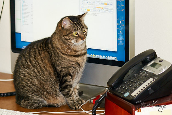 Olivia Watching the Phone, in article: How to Achieve Success as a Cat