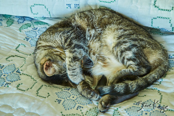 Olivia Napping, in article: How to Achieve Success as a Cat