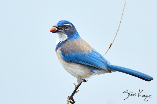 California Scrub-Jay, © Photo by Steve Kaye