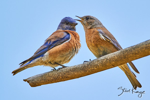 Western Bluebird, © Photo by Steve Kaye, in article 27 Ways to Show Kindness