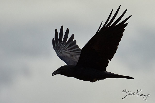 Common Raven, © Photo by Steve Kaye, in blog post: Choosing Success