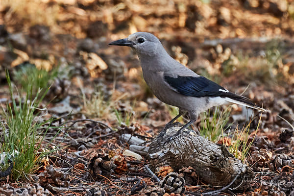 Clark's Nutcracker, © Photo by Steve Kaye, in blog post: First Choice