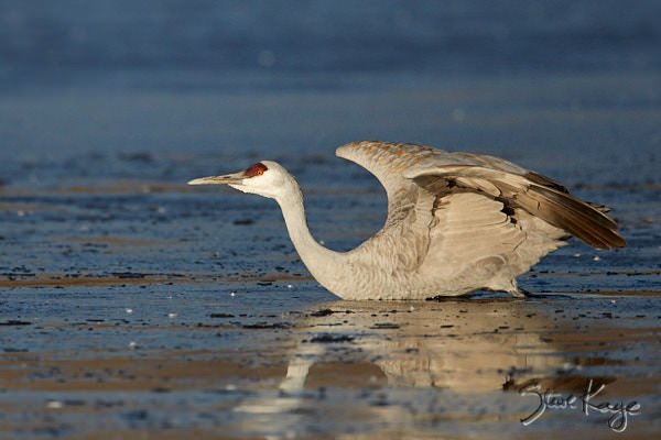 """Sandhill Crane, © Photo by Steve Kaye, in blog post: """"The Blog That Refused to Appear"""""""