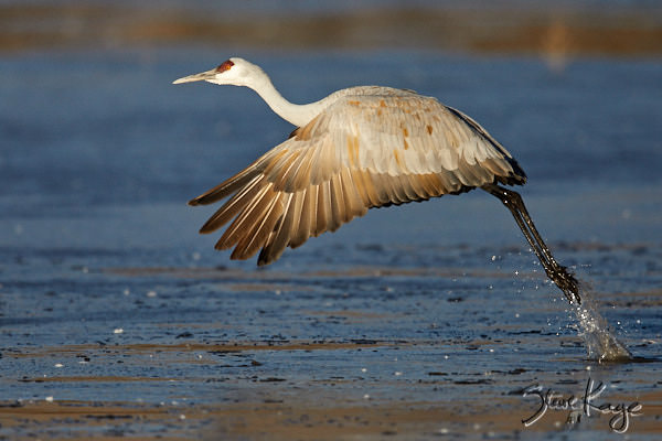 "Sandhill Crane, © Photo by Steve Kaye, in blog post: ""The Blog That Refused to Appear"""