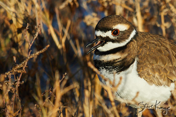 Killdeer, (c) Photo by Steve Kaye, in blog post: Embrace Hardship