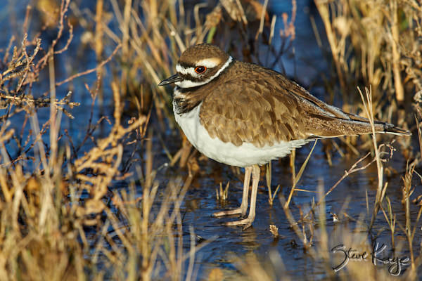 Killdeer, © Photo by Steve Kaye