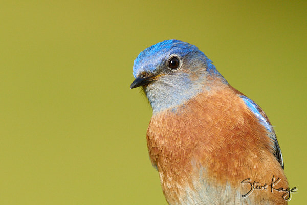 Western Bluebird, Male, © Photo by Steve Kaye, in blog post: Earth Day 2019