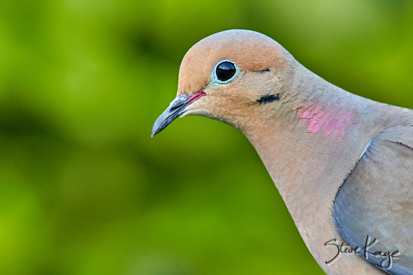 Mourning Dove, © Photo by Steve Kaye, in blog post: Simple Answers