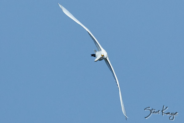 Great Egret, © Photo by Steve Kaye, in blog post: Unexpected Results