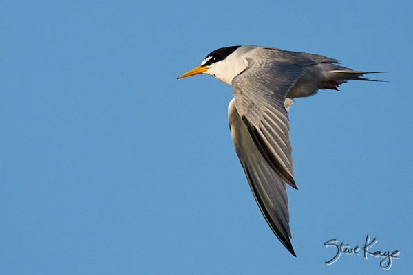 Least Tern, © Photo by Steve Kaye, in blog post: Unexpected Results