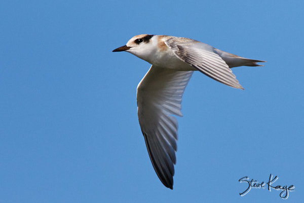 Least Tern, Juvenile, © Photo by Steve Kaye, in blog post: Unexpected Results