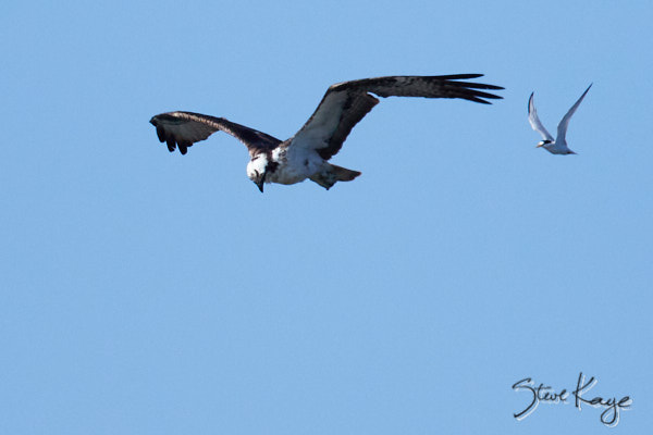 Osprey Being Chased by a Least Tern, © Photo by Steve Kaye, in blog post: Unexpected Results