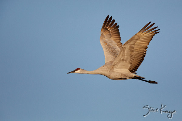 Sandhill Crane, © Photo by Steve Kaye, in article: Organizations Working to Make a Better World