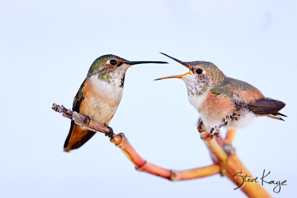 "Allen's Hummingbird, Adult Female (Left) and Juvenile (Right), © Photo by Steve Kaye, in blog post ""Mastery"""