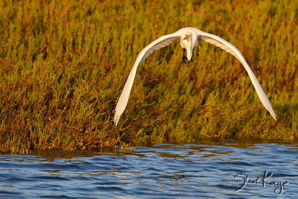 "Great Egret, © Photo by Steve Kaye, in blog post ""Mastery"""