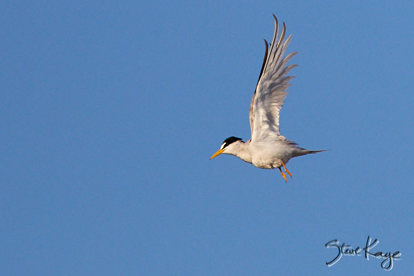 Least Tern, © Photo by Steve Kaye, in Funny Birds