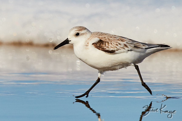 "Sanderling, © Photo by Steve Kaye, in blog post ""Mastery"""