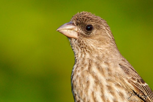 House Finch, Female; © Photo by Steve Kaye, in blog post, What Is Photography
