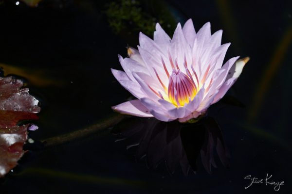 Water Lilly, (c) Photo by Steve Kaye, Original Photo, in blog post, What Is Photography