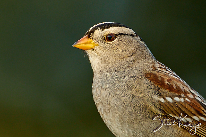 White-crowned Sparrow, Adult, © Photo by Steve Kaye