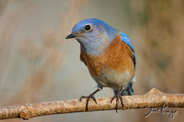 Western Bluebird, © Photo by Steve Kaye