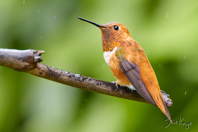 Rufous Hummingbird, © Photo by Steve