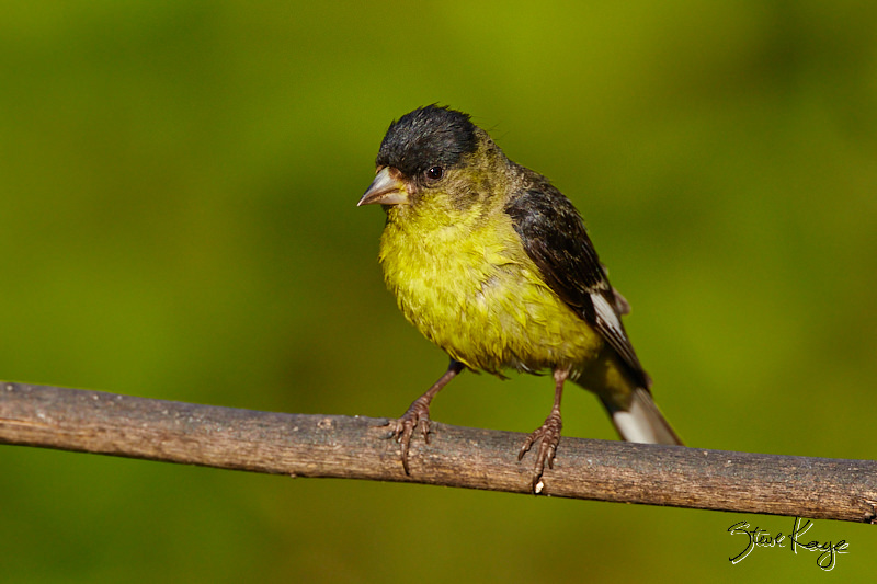 Lesser Goldfinch, male, © Photo by Steve Kaye, in blog: You May Need a Break