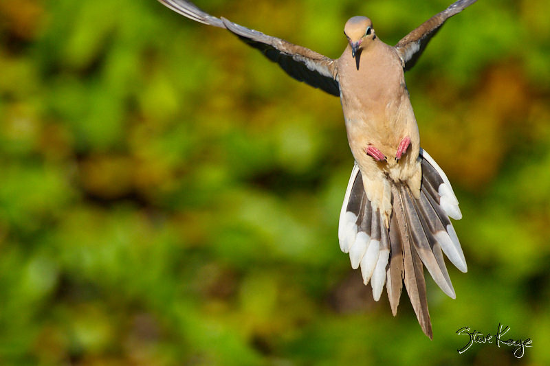 Mourning Dove, © Photo by Steve Kaye, in blog: You May Need a Break