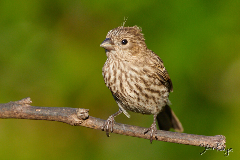 House Finch, Juvenile, © Photo by Steve Kaye
