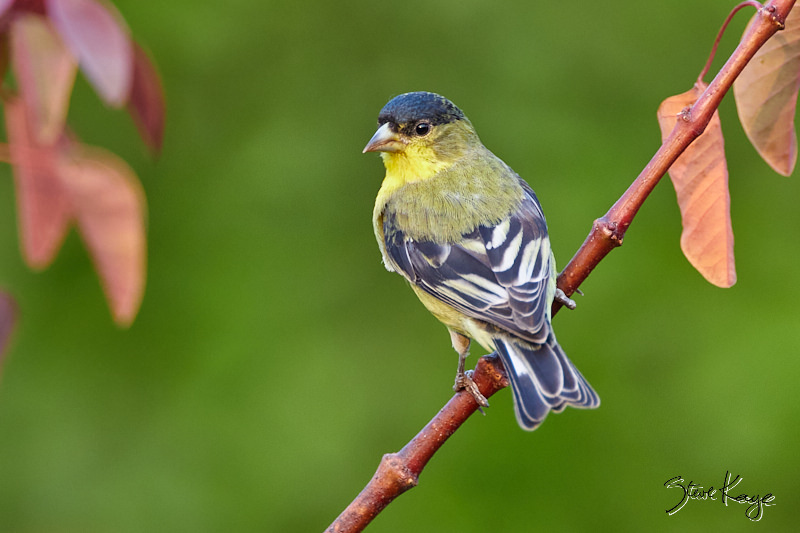 Lesser Goldfinch, Male; © Photo by Steve Kaye