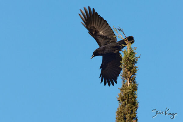 American Crow, © Photo by Steve Kaye, in blog: What and Why