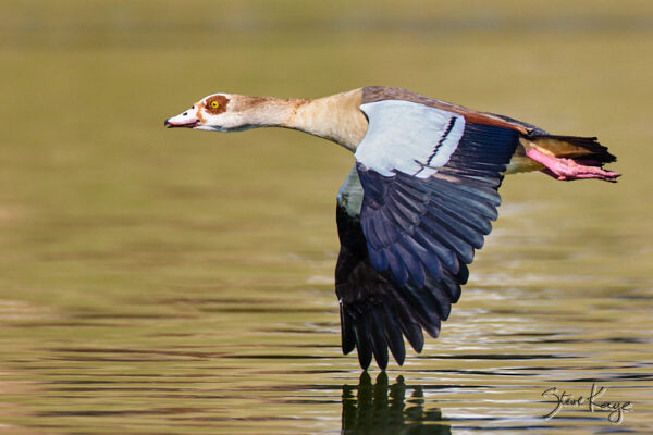 Egyptian Goose, © Photo by Steve Kaye, in blog about Freedom