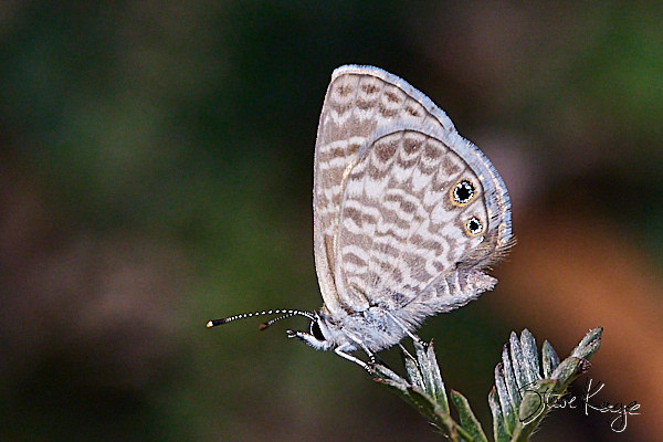 Marine Blue, butterfly, in blog post on Gratitude Now, by Steve Kaye