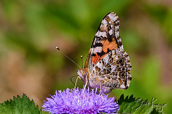 """Painted Lady, (c) Photo by Steve Kaye, in blog """"Gratitude Now"""""""