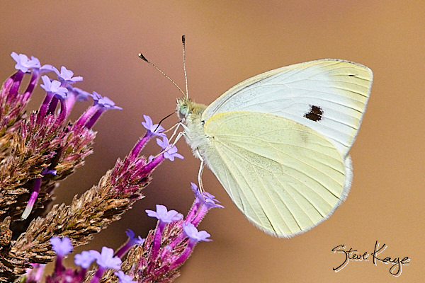 Cabbage White, Butterfly, (c) Photo by Steve Kaye, in blog post on Adversity